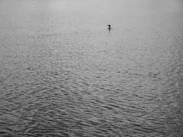 photoblog_chicago_freelance_photographer_michaeljarecki_margaret_loon_bird_lake_fresh_water_wisconsin_nature