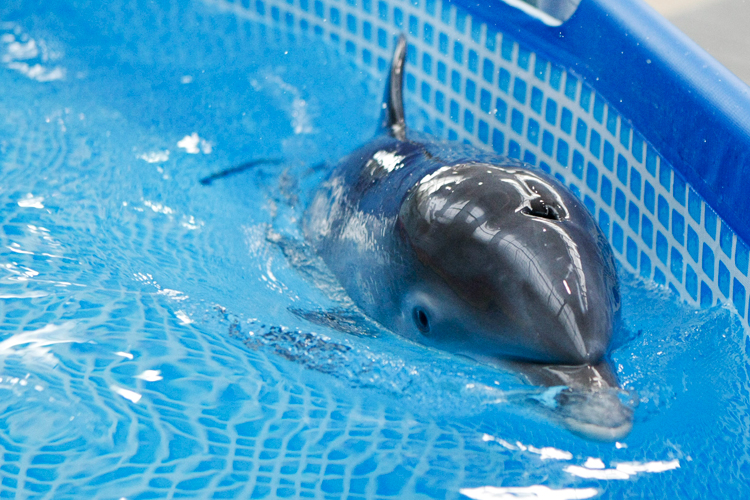 An unnamed 6-week-old dolphin calf comes up for air while swimming around a small pool at the Brookfield Zoo on Tuesday, December 10, 2013.  | Michael Jarecki/For Sun-Times Media