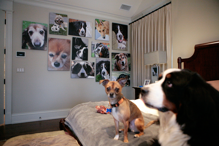 """Bongo"" a Chihuahua mix and ""Shirley"" a Bernese Mountain dog sit on the master bed near a memorial wall of past and present dogs in the Greco home on Thursday, January 30, 2014.  