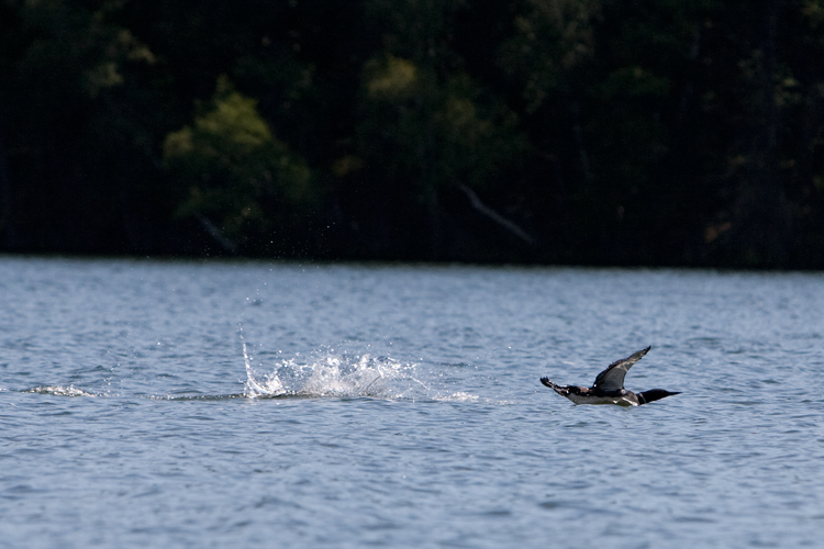 photoblog_chicago_freelance_photographer_michaeljarecki_photojournalist_nature_loon_bird_water_longLake_wisconsin_landing