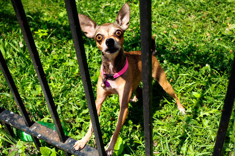 photoblog_chicago_freelance_photojournalist_michaeljarecki_dog_eyes_animal_Chihuahua_funny_crazy_cute