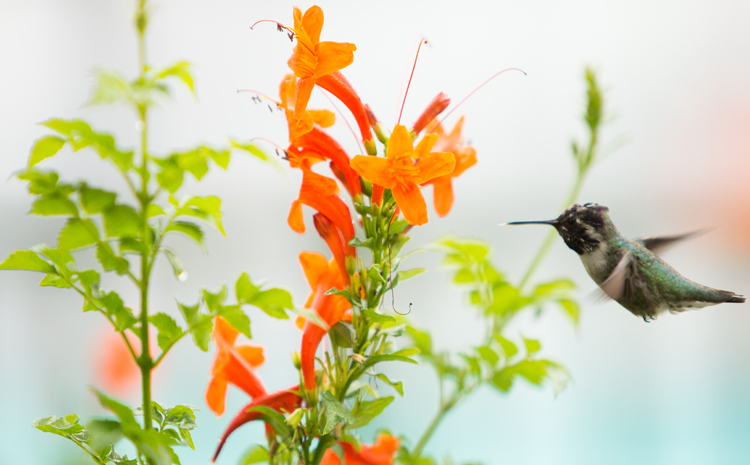 photoblog_chicago_freelance_photographer_michaeljarecki_photojournalist_humming_bird_nature_flight_flower_cool_awesome