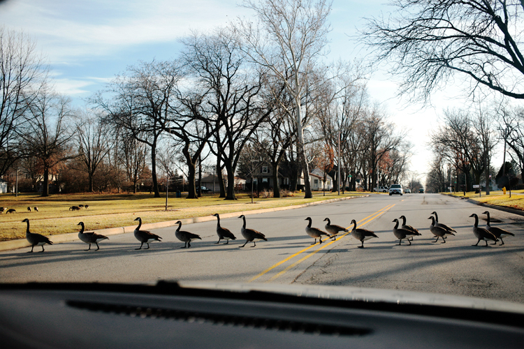photoblog_chicago_freelance_photojournalist_michaeljarecki_photographer_nature_geese_road_crossing_winter_cool_line_awesome