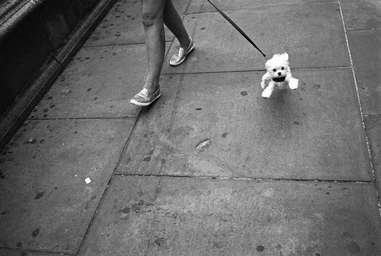 photoblog-freelance-photographer-michaeljarecki-photojournalist-chicago-black&white-street-lap-dog-poodle-small-animal-pet-walk-cute-funny