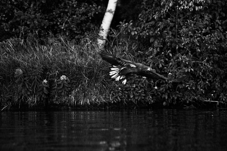 photoblog-freelance-commercial-photographer-michaeljarecki-photojournalist-black&white-wisconsin-longlake-america-vacation-hawk-bald-eagle-bird-5